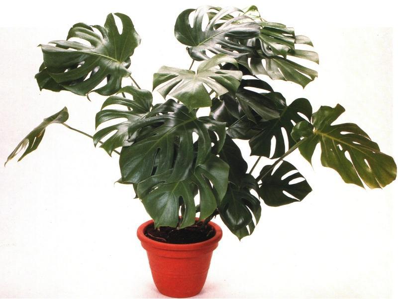 Эти комнатные растения опасны для маленьких детей