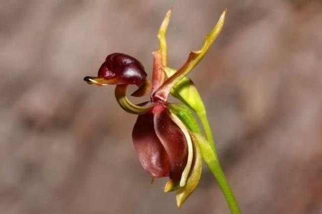 Орхидея «летящая утка»