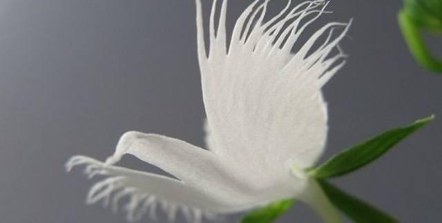 Орхидея «белая цапля» (Pecteilis radiata)