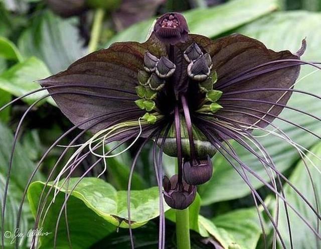 Такка Шантрье или «черная летучая мышь»