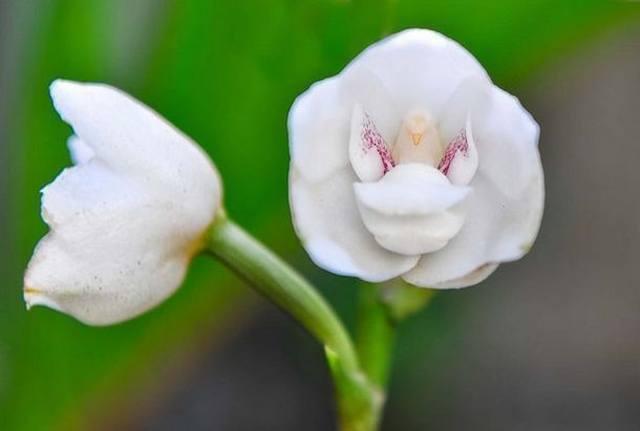 Орхидея «святой дух» (Peristeria elata)