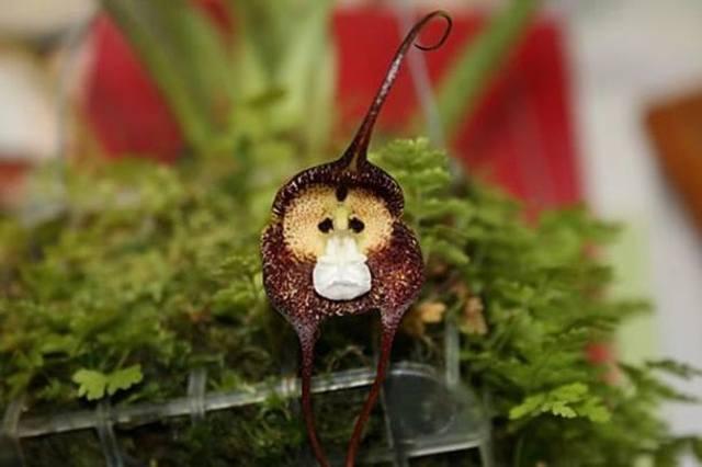 Обезьянья орхидея (Dracula simia)