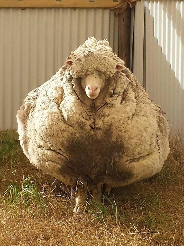 Овца, отбившаяся от стада, нашлась спустя 5 лет. Её внешний вид поразил абсолютно всех