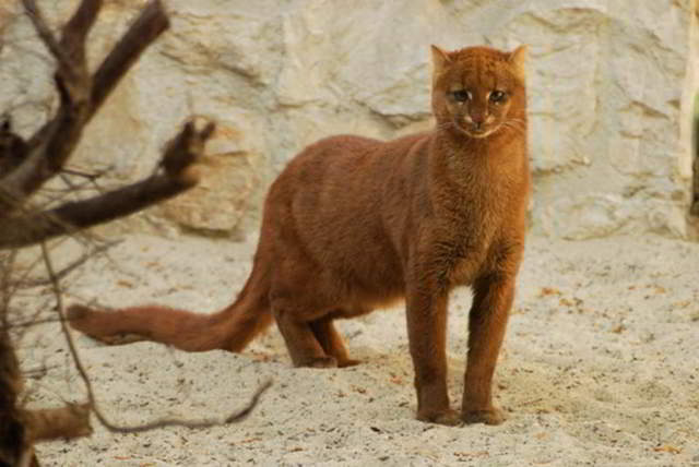 Ягуарунди — кошка, которая умеет чирикать, питается фруктами и дружит с обезьянами