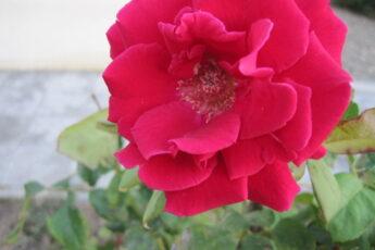 Цветущая роза. Фото автора