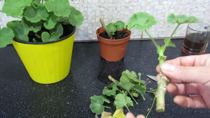 Изображение выглядит как растение, овощ, салат латук, свежий Автоматически созданное описание